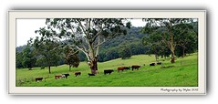 follow the leader (ImagesbyStyles) Tags: trees beauty grass wonderful cows air follow nsw styles midnorthcoast lushness telegraphpoint