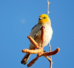 Verdin 2, 03/14/13 (VinCar927) Tags: arizona birds riparianranchatwaterpreserve