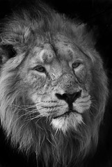 Asiatic lion (Panthera leo persica) (Stephen Bridson) Tags: wild portrait blackandwhite bw nature animal animals photography zoo photo nikon wildlife lion sigma bigcat wildanimal chesterzoo asiaticlion specanimal sigma70300mmdgmacro nikond3000