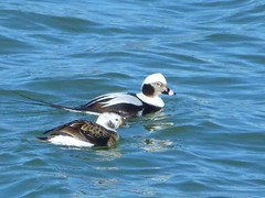 Long Tailed Ducks Photo