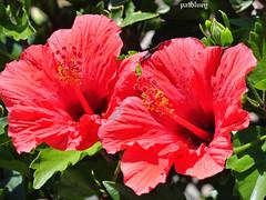 Deep orange / pink pair of Hibiscus (pat.bluey) Tags: flowers colour pair australia hibiscus newsouthwales 1001nights orangepink warilla flickraward spiritofphotography paololivornosfriends 1001nightsmagiccity hennysgardens