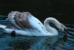 The Challenger (joewest2) Tags: swan naturereserve runcorn birdinflight wiggisland joewestwood 5thelementphotography