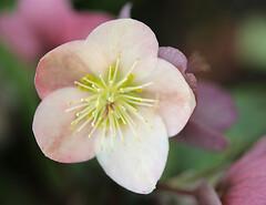 Lenten Rose (janruss) Tags: flower detail macro floral blossom bloom lentenrose janruss janinerussell
