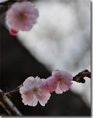 fiorellini... (marina bertone) Tags: primavera marina torino rosa tronco ramo petali trasparenze sfocato passeggiando fiorellini vicinoacasa nikond90 bocciolini marinablu