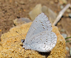 Echo Blue male (K Schneider) Tags: blue male pacific echo azure celastrina