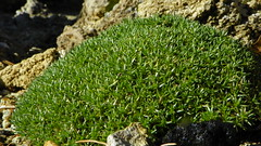 Eremogone hookeri var. hookeri 100_0381 (sierrarainshadow) Tags: var arenaria syn hookeri desertorum eremogone