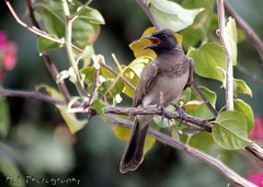 Black-eyed Bulbul (freshdead) Tags: birds photographer wildlife wildlifephotographer blackeyed bulbul blackeyedbulbul photographey birdsphotographer