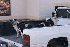 Dogs at the Drive-Thru (J R Webb) Tags: dogs truck