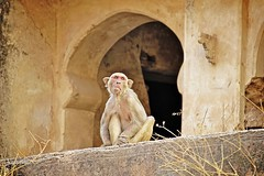 Bundi_monkeys 62 (peteypistolero) Tags: travel india nature wildlife monkeys rajasthan macaques bundi travelphotography travelphotos langurs peteypistolero canonrebelt2i peteschnell