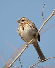 Song sparrow [1315] (cl.lin) Tags: bird nature spring nikon midwest song wildlife birding sigma iowa sparrow mississippiriver d600 leclaire lockanddam14