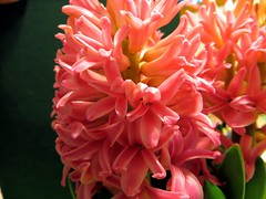 One of my favorite fragrant flowers (DonaSite) Tags: pink orchid flower fragrant present hyacinth nicesmell spiritlifter