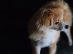 Observing (rhansantiago) Tags: pets dogs pen observation emotion bokeh olympus zuiko 45mm petlovers doglovers micro43 getolympus mu43 epm1 penmini