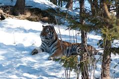 Siberian tiger (Mange J) Tags: park winter orange white snow black cold cat big pentax sweden tiger sverige siberian dalarna siberiantiger amur amurtiger k7 orsa björnpark grönklitt pentaxk7 magnusjakobsson