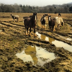 Horses for courses (Flamenco Sun) Tags: horses horse reflection field puddle country shire uploaded:by=flickrmobile flickriosapp:filter=nofilter