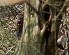 IMG_5837 (parttimedogfish) Tags: wood nature forest mammal wildlife reserve deer roe barlow drax