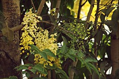 """Konna"" Flowers (aprna) Tags: flowers summer yellow festive golden kerala lanterns vishu konna goldenshowertree kanikonna gettyimagesindiaq4"