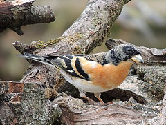BUZZ SMALLBIRDS brambling mail XA 057 (ivorrichardk) Tags: buzzsmallbirdsxa