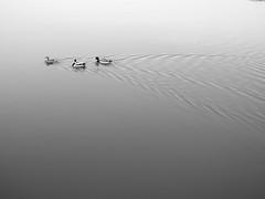 The Race (haiiyaa) Tags: ocean bw white black water race duck sigma olympus simplicity mallard ripples 28 minimalistic the simplistic 19mm epm2