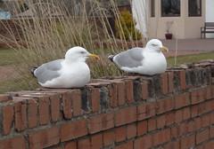 Wall (Bricheno) Tags: bird birds wall scotland seagull gull gulls escocia szkocja herringgulls schottland ayrshire largs scozia écosse 蘇格蘭 escòcia σκωτία स्कॉटलैंड bricheno scoția