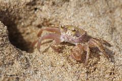 Ghost Crab - (Sand Crab) - Ocypode quadrata (Gerald (Wayne) Prout) Tags: hawaii pacificocean kauai sandcrab crustaceans ghostcrab decapoda kauaibeach ocypodequadrata ocypolidae