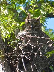 Great Horned Owl in Nest with Owlet (steven_and_haley_bach) Tags: bird austin nikon nest aves owl animalia bubovirginianus owlet birdphotography chordata d5100