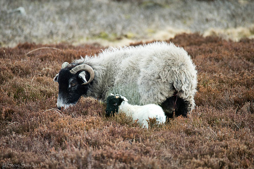 2892swaledale sheep and lamb