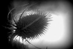 Le chardon gris - The grey thistle - On explore 20/4/2013 - Rank  143 (p.franche Occupé - Buzzy) Tags: light shadow brussels blackandwhite flower fleur europe belgium belgique noiretblanc lumière bruxelles ombre brussel zwart wit schaarbeek schaerbeek belgïe pascalfranche pfranche