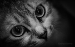 Her Eyes (Lihoman...) Tags: portrait blackandwhite bw pet white black macro blanco monochrome animal animals sepia cat blackwhite kitten chat noir dof bokeh cosina negro 100mm mc gato 100 af siberian boke weiss gatto bianco blanc nero gatti schwarz  f35              blackwhitephotos     depthoffiled           lihoman