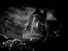 (Nelson Chee) Tags: lembeh yosdivecenter sulawesi scuba olympus blackandwhite