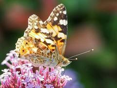 Distelfalter (And Hei) Tags: butterfly schmetterling nature falter distelfalter vanessacardui