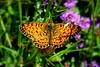 Butterfly in the Pyrenees (Christophé F) Tags: twop flower flickrsbest tamron d3300 nikon summer wildlife nature pyrenees insect butterfly