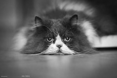 Piero (lucafoscili) Tags: summer portrait pet hot cute animal cat fur nose persian eyes furry italia floor bokeh gorgeous ears it whiskers pisa indoors lazy tired toscana laying