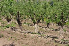 ckuchem-1267 (christine_kuchem) Tags: streuobstwiesenweg streuobstwiese streuobst wiese obstbaum frhling frhjahr blte bltezeit obstbume
