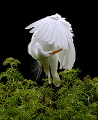 Success favors the well groomed (zgrial) Tags: bird egret white wildlife nature preening grooming orlando florida summertime outdoor animalbehavior zgrial