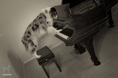 34/52 Honkytonk Hound (Jasper's Human) Tags: 52weeksfordogs australianshepherd aussie honkytonk piano