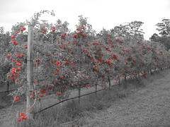 DSCN0385 (mavnjess) Tags: 1 may 2016 cripps pink lady apples orchard red black white bw sacha cin lucinda giblett cooking hibiscus compost composting compostbays chestnuts chestnut tree train carriages rainbow trolley bus trolleybus carriage