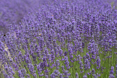 Lots of Lavender (jklewis4) Tags: pacificnorthwest washington sequim olympicpeninsula pnw flower lavender purple fields bees