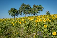 Sunflower Field (Bommer60) Tags: waldbrunn badenwrttemberg germany de odenwald turmschenke waldkatzenbach sonnenblumen sunflowers trees outdoor deutschland bluesky natur nature nikond750