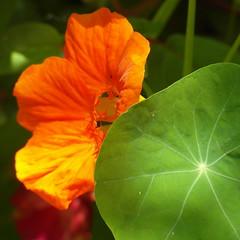 nasturtium (kexi) Tags: orange flower green leaf macro nasturcja nasturtium poland polska gniazdowo square july 2015 samsung wb690 instantfave