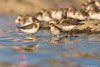 """Boules plumeuses"" Bécasseau semipalmé/Semipalmated (pascaleforest) Tags: animal oiseau bird limicoles lingue passion nikon nature fauna québec montmagny wild ornitho"