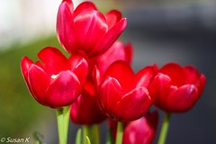 Vibrant in Red (koaysusan) Tags: beautifullight light redtulips red tulips flowers outdoor plant bright hank you