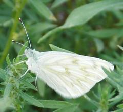 Checkered White (Keith Roragen) Tags: colorado insect lepidoptera butterfly pieridae white checkeredwhite pontia protodice