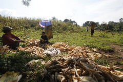 SBC_2015_31Aug_13 (susancorpuz90) Tags: zamboangadelsur cornharvest samal tukuran susancorpuz food foodsecurity
