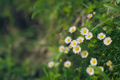 Faith (FengboLi) Tags: flower floral garden plants daisy outdoor trail hiking summer spring earth green white