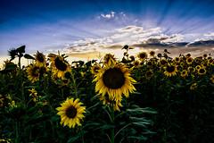 Sunflower field (scorpion (13)) Tags: sunflower field blossoms leaves evening walk natural color creative photoart plant summer sun