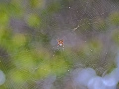 Webster (tvbpictures) Tags: depth spider xf90mm nature insect silk geometric