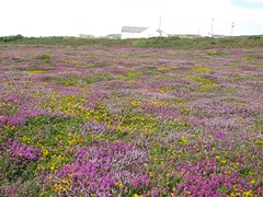 3254 Heather and gorse (Andy panomaniacanonymous) Tags: 20160808 cymru fff flowers ggg gorse heather hhh ling lll ppp purple southstackrspb ulexeuropaeus uuu wales yellow yyy