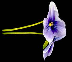 Simplicity twice (dmunro100) Tags: macromondays inthemirror flower viola reflection mirror simplicity beauty macro delicate blackbackground stem dof f25 depthoffield canon eos 80d canonef100mmf28lmacroisusm