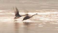 Time has wings. (K16mix) Tags: japan izunuma miyagi kurihar swan wildlife wildbird nature lake water morning light slow