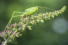 Katydid Nymph (mangoldm) Tags: katydid nymph macro insect insects
